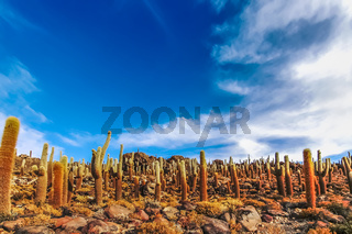 Giant cactus at Isla Incahuasi in Salar de Uyuni