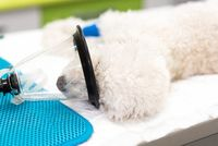 Preoxygenation in a sedated white poodle with a mask prior to intubation.