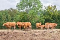 Herd of brown cows with calves in meadow
