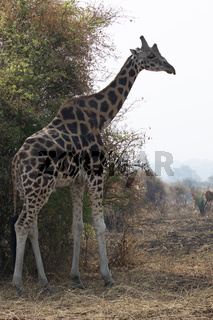 large male giraffe standing on the edge of a bush in a scorched savannah
