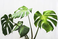 monstera leaf , philodendron plant