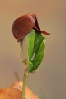 Seedling (Fagus sylvatica)
