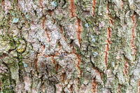 uneven bark on old trunk of ash tree close up