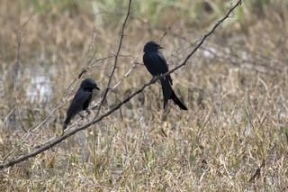 two black drongos who sit on a dry branch on a dry meadow