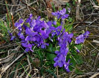 Wald-Veilchen, Viola reichenbachiana,