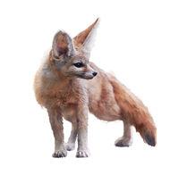 Fennec Fox watercolor illustration