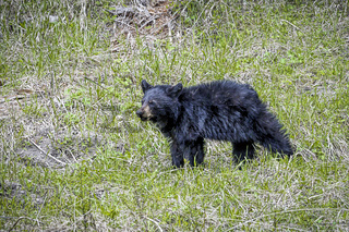 Black bear cub standing in the grass.