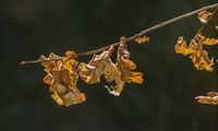 Withered  oak leaves