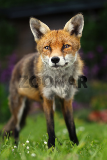 Close up of a Red fox sitting in the back garden