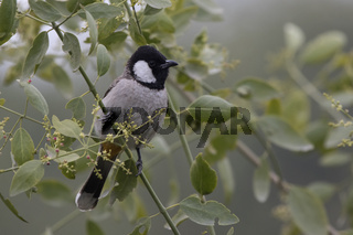 white-eared bulbul that sits on a bush branch on a cloudy winter day