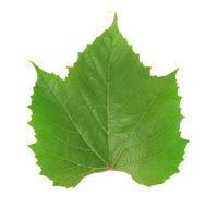Single green grape leaf