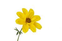Goldmarie (Bidens ferulifolia), freigestellt