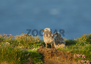 Two European herring gull chicks standing by the nest