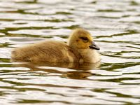 Canada goose chick on the pond
