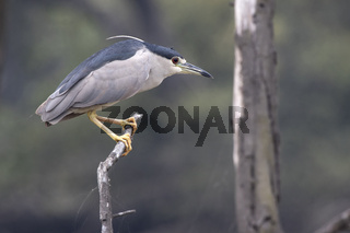 black-crowned night heron who sits on a dry branch of a tree over a small pond in anticipation of fish