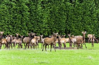Huge herd of deer grazing