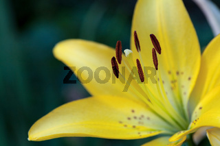 fresh yellow lily blossom close up