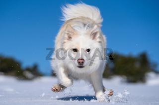 Islandhund im Schnee (30)