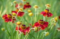 Close-up view of helenium flowers