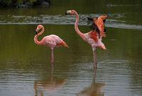 American flamingos (Phoenicopterus ruber), Isabela Island, Galapagos Islands, Ecuador