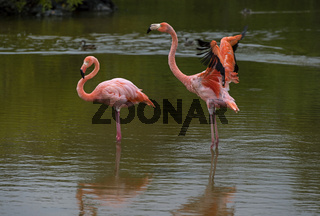 Kuba-Flamingos (Phoenicopterus ruber), Insel Isabela, Galapagos Inseln, Ecuador