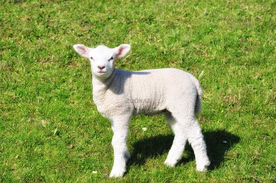 Lamb on a Dike in East Frisia,North Sea,lower saxony,Germany