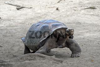 Galapagos-Riesenschildkröte (Chelonoidis nigra ssp), Insel Isabela, Galapagos Inseln, Ecuador