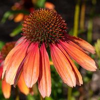 Coneflower, Echinacea purpurea