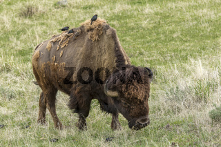 Birds perched on a grazing bison.