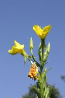 Common evening primrose, blossom