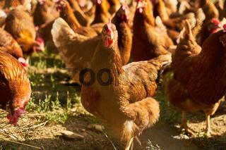 Freilaufende Hühner auf Wiese im Biohof