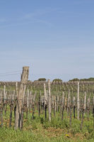 Wine growing in Istria