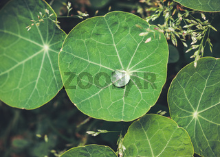 Water drop on nasturtium leaf