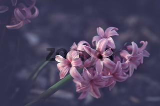 fresh pastel pink hyacinth blossom in spring