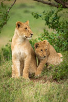 Lion cubs sit in bushes looking right