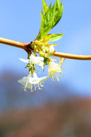 branch with white blossom