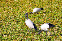 African Sacred Ibis in the water at South Luangwa National Park, Zambia