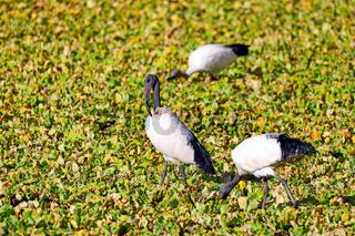 Heilige Ibisse iim Wasser im South Luangwa Nationalpark, Sambia, (threskiornis aethiopicus) |  African Sacred Ibis in the water at South Luangwa National Park, Zambia, (threskiornis aethiopicus)