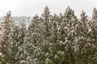 Pine Forest Winter Landscape