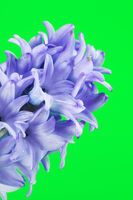 Blue Hyacinth Flower