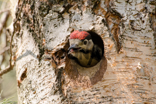 Young woodpecker (Dendrocopos major) in tree hollow