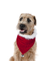 Beautiful Brown Dog in Holiday Christmas Scarf Bandana looking toward camera isolated on white.