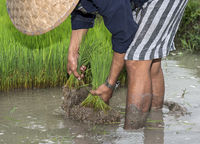 rice planting in the rice farrm of the community enterprise Living Land, Luang Prabang, Laos