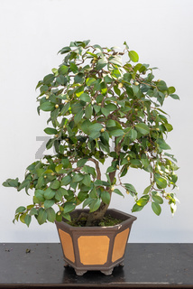 Bonsai tree on a table against white wall