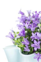 Dalmatian bellflower isolated on white background. Gardening and flower concept.