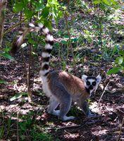 Portrait of the eating ring-tailed lemur Lemur catta aka King Julien in Anja Community Reserve at Manambolo, Ambalavao, Madagascar