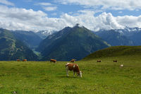 Zillertaler alps, grazing cows on the alp Penken, view to the Stillup valley with Stillup reservoir