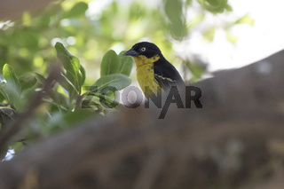 male Baglafecht weaver who sits on a thick trunk of a tree in the shade