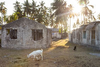 Goats by the Stone houses surrounded by palm trees in Jambiani village in Zanzibar, Tanzania in sunset.