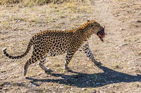 African leopard drags a piece of meat